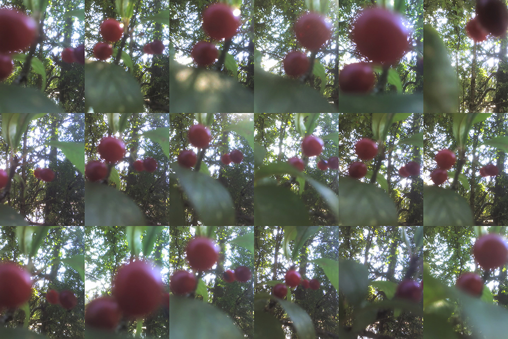 2015 August 13 chokecherry drupes Gordon Brent Brochu-Ingram (small)