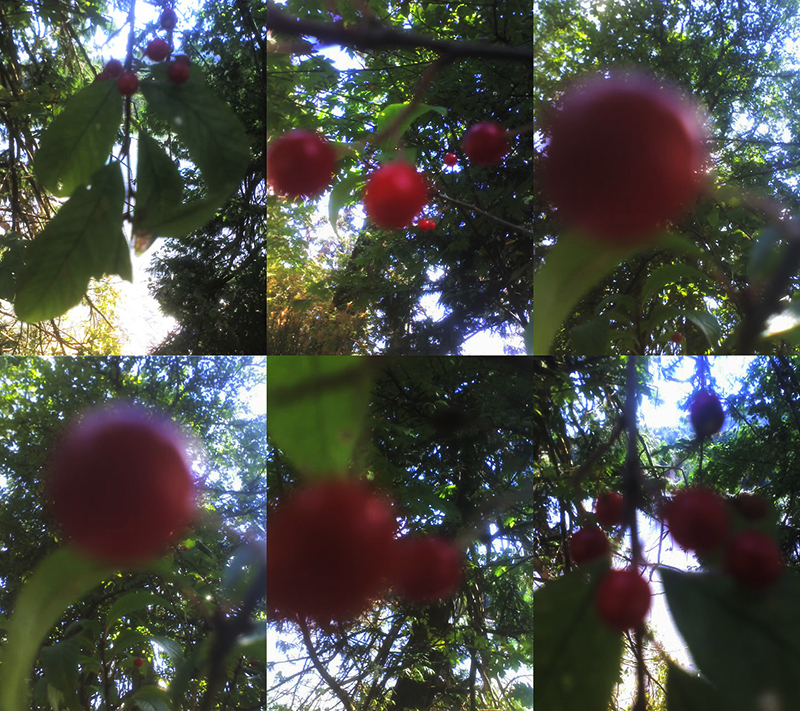 2015 August 7 chokecherry drupes Gordon Brent Brochu-Ingram 2
