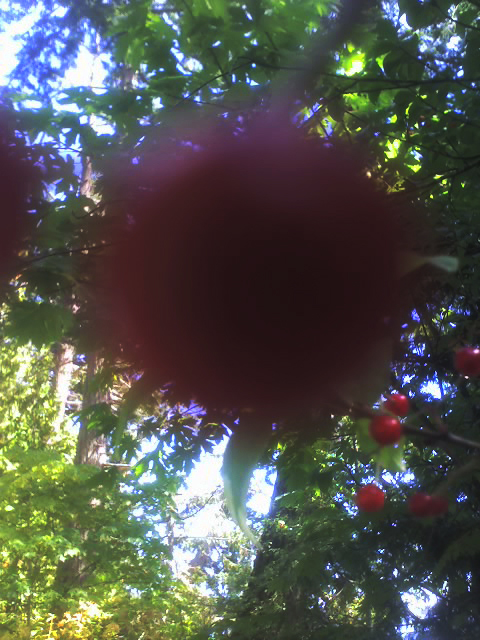 2015 August 7 chokecherry drupes Gordon Brent Brochu-Ingram 6