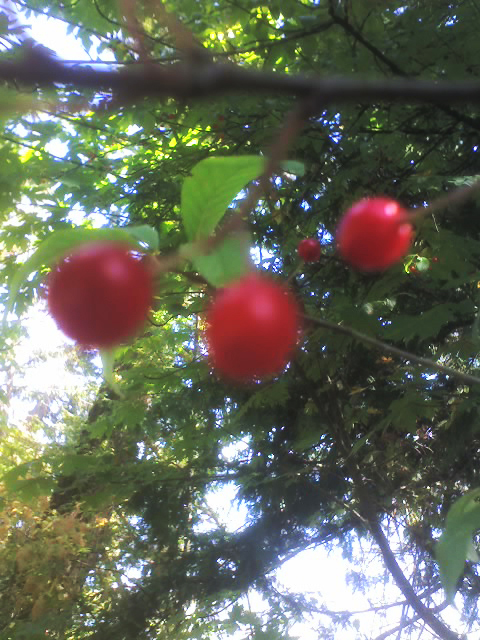 2015 August 7 chokecherry drupes Gordon Brent Brochu-Ingram 7