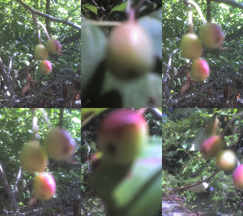 (6)2 2015 August 7 Burgoyne crabapple Gordon Brent Brochu-Ingram (small)