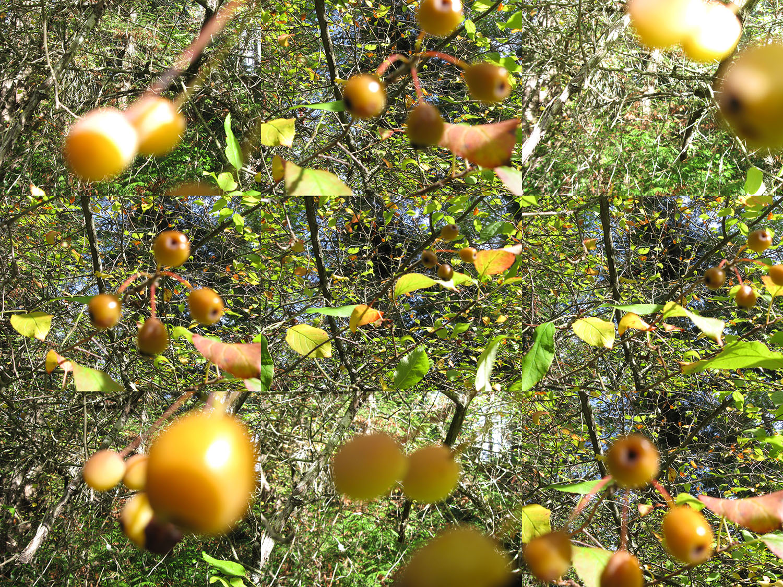 2015 Oct 15 crabapple fruit Malus fusca Beaver Pt & Demetri Rd SSI Gordon Brent Brochu-Ingram #3(small)