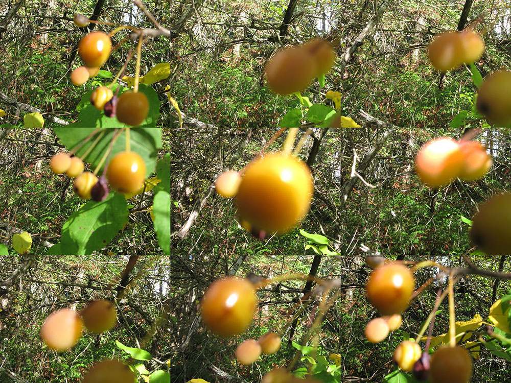 2015 Oct 15 crabapple fruit Malus fusca Beaver Pt & Demetri Rd SSI Gordon Brent Brochu-Ingram #5(small)
